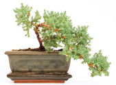 Bonsai in the pot — Stock Photo
