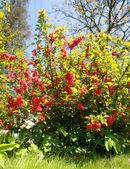 Blooming bush in the garden — Stock Photo