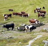 Vacas en pastoreo — Foto de Stock