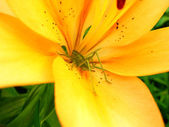 Grasshopper with yellow lilies — Stock Photo