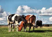 Cows on pasture — Stock Photo