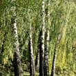Birch grove in summer or autumn, beautiful landscape — Stock Photo