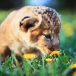 African lion's whelp smelling flower — Stock Photo
