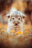 African lion's whelp sitting in the grass — Stock Photo