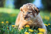 African lion's whelp resting on the lawn — Stock Photo
