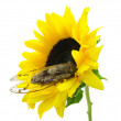 Cicada and Sunflower — Stock Photo
