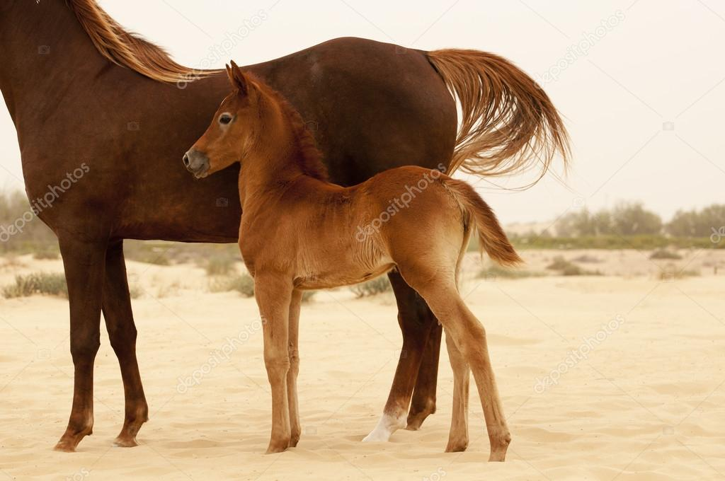 Dark foal and mare in desert — Stock Photo #12019679