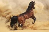 An Arabian stallion — Stock Photo