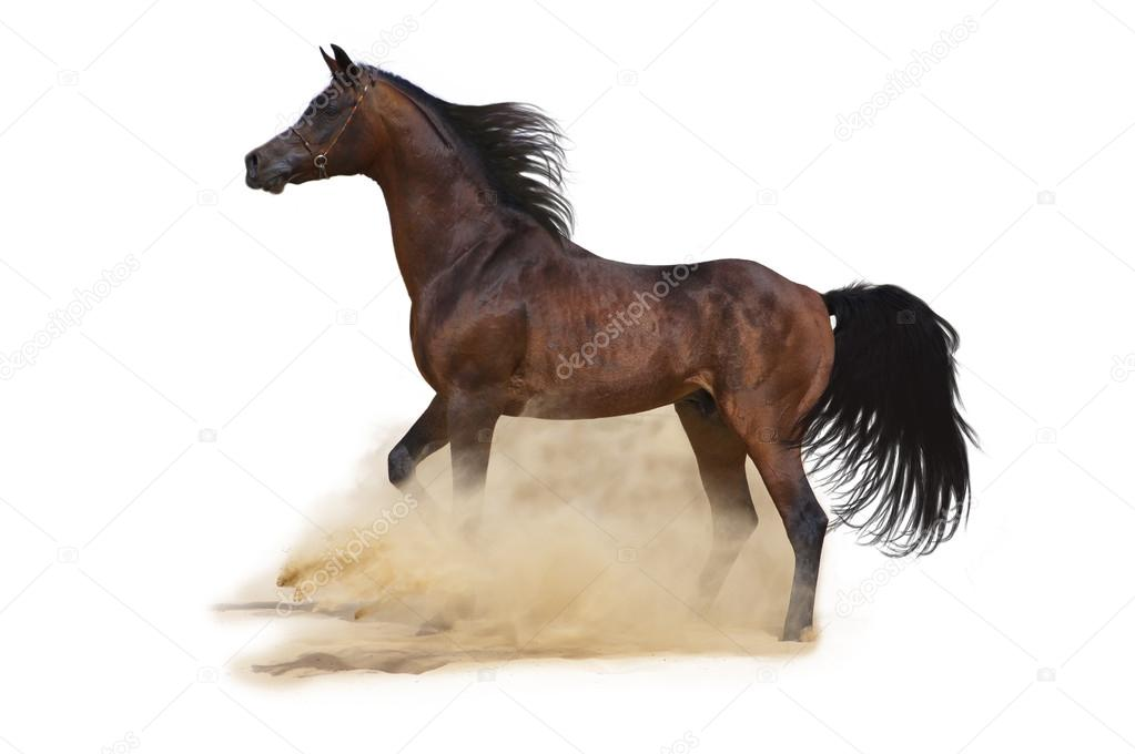 Bay arabian horse over white background  Stock Photo #12175396