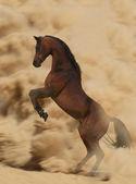 Arabian stallion in action — Stock Photo