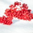 Viburnum branch in the snow — Stock Photo
