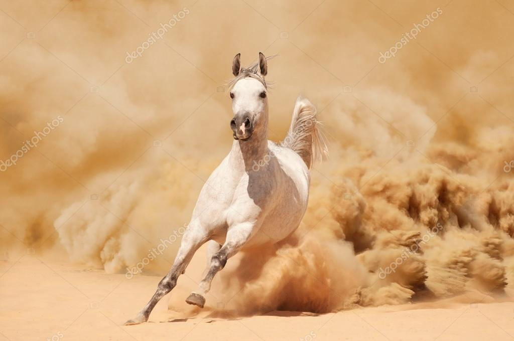 Purebred white arabian horse running in desert — Stock ...