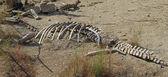 Animal skeleton — Stock Photo
