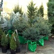 Christmas trees — Stock Photo #31673831