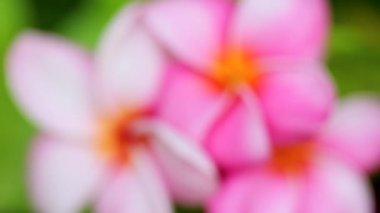 Pink Plumeria Flowers — Stock Video