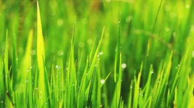 Grama e manhã gotas de chuva — Vídeo stock