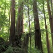 Redwood trees in forest - Stock Photo
