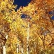 Colorful Aspen Trees - Stock Photo