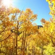 Colorful aspen trees — Stock Video