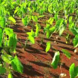 Vibrant Field of Crops ready to be Harvested — Video Stock