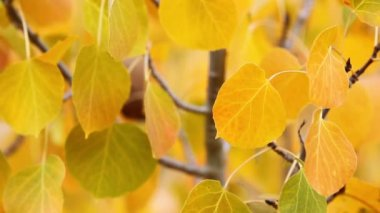 Colorful aspen trees — Stock Video #15500963