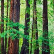 Stock Photo: Redwood Forest