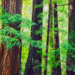 Redwood Forest - Stock fotografie