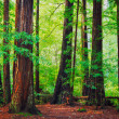 Redwood Forest — Stock Photo #24995065