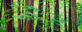 Redwood Forest — Stock Photo