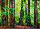 Bosque de redwood — Foto de Stock