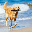Happy Young Golden Retriever — Stock Photo #43700905