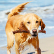 Happy Young Golden Retriever — Stock Photo #43700953