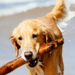 Happy Young Golden Retriever — Stock Photo