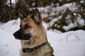 German Shepherd Dog — Foto de Stock