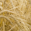 Hordeum distichon, barley, spikes — Stock Photo #13946667