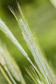 Rye (Secale cereale) wheat spike — Stock Photo