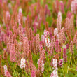 Plantain pink flowers — Stock Photo