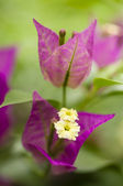 Bouganville flower closeup — Stock Photo