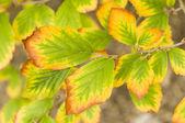 желтые осенние листья — Стоковое фото