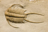 Trilobite fossil with thorns — Stock Photo