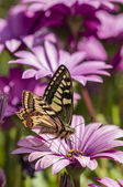 Swallowtail butterfly in a purple daisy field — Stock Photo