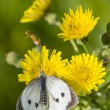 Large white butterfly on yellow flower - Stock Photo