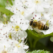 Bee on hawthorn flowers — Stock Photo