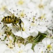 Hoverfly on hawthorn flowers — Stock Photo