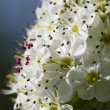 Flower of common hawthorn - Stock Photo