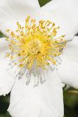 Rosa ornamental — Foto de Stock