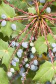 Ozdobne jagody niebieski — Zdjęcie stockowe