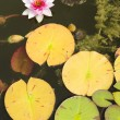 Water lily flowers — Stock Photo #27366023
