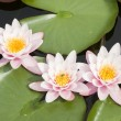 Stock Photo: Water lily flowers