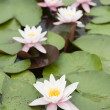 Water lily flowers — Stock Photo #27366409